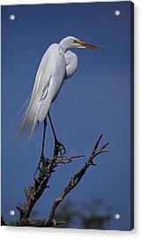 Great Egret, Casmerodius Albus, Perched Acrylic Print by John Cancalosi