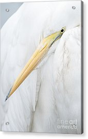 Acrylic Print featuring the photograph Great Egret by Doug Herr