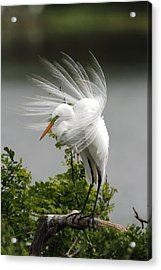 Great Egret Acrylic Print by Doug Lloyd