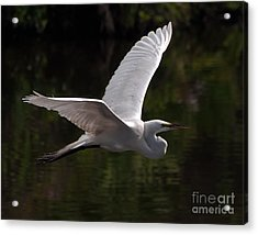 Acrylic Print featuring the photograph Great Egret Flying by Art Whitton