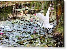Great Egret In Flight Acrylic Print by Suzie Banks