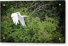 Great Egret Acrylic Print by Mike Rivera