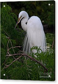 Acrylic Print featuring the photograph Great Egret Nesting by Art Whitton