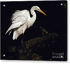 Acrylic Print featuring the photograph Great Egret Ruffles His Feathers by Art Whitton