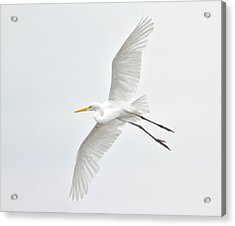 Great Egret Taking Off Acrylic Print by Bmse
