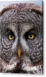 Great Gray Owl Acrylic Print by Chad Graham