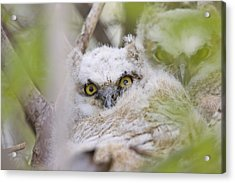 Great Horned Owl Babies Owlets In Nest Acrylic Print