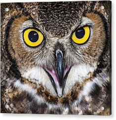 Great Horned Owl Close Up Acrylic Print by Ray Downs