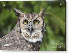 Great Horned Owl Acrylic Print by Keith Kapple