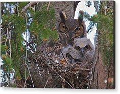 Great Horned Owl Nest Acrylic Print