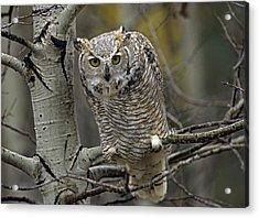 Great Horned Owl Pale Form Kootenays Acrylic Print by Tim Fitzharris