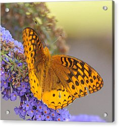 Great Spangled Fritillary Butterfly Acrylic Print by Paul Ward
