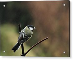 Great Tit In The Rain Acrylic Print by Peter Skelton