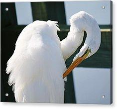 Great White Egret Preening Acrylic Print by Paulette Thomas
