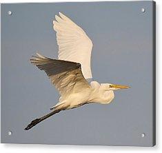 Great White Egret Soaring Acrylic Print by Paulette Thomas