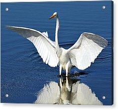 Great White Egret Spreading Its Wings Acrylic Print