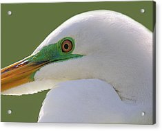 Great White Egret Up Close And Personal Acrylic Print by Paulette Thomas