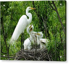 Great White Egret With Babies Acrylic Print by Paulette Thomas
