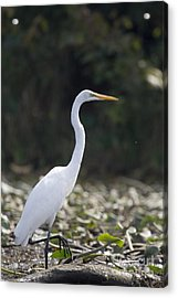 Great White Heron Acrylic Print by Christopher Purcell
