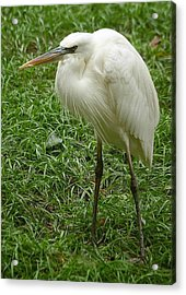 Acrylic Print featuring the photograph Great White Heron by Myrna Bradshaw