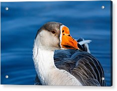Greater White Frontal-goose Striking A Pose Acrylic Print