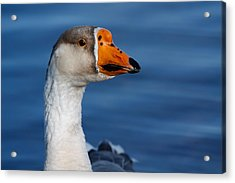 Acrylic Print featuring the photograph Greater-white Fronted Goose by Ann Murphy