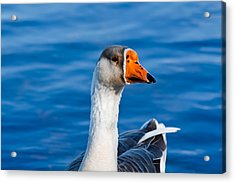 Acrylic Print featuring the photograph Greater White-fronted Goose Looking For A Mate by Ann Murphy