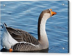 Greater White-fronted Goose Paddling Away Acrylic Print