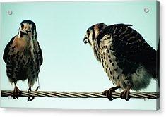 Greedy Bird Acrylic Print