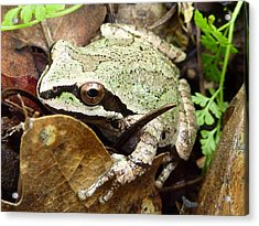 Acrylic Print featuring the photograph Green And Brown Frog by Cindy Wright