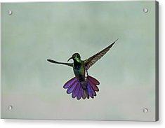 Green-breasted Mango Hummingbird Acrylic Print