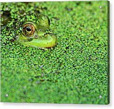 Green Bullfrog In Pond Acrylic Print by Patti White Photography