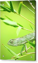 Green Chameleon In Mozambique Acrylic Print by Alex Bramwell