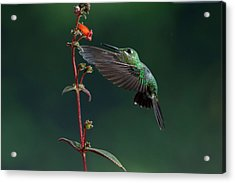 Green Crowned Brilliant Acrylic Print