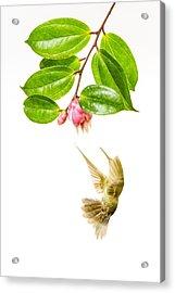 Green Crowned Brilliant Hummingbird Acrylic Print by Hali Sowle