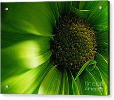 Acrylic Print featuring the photograph Green Daisy by Robin Dickinson