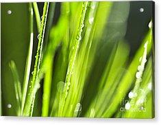 Green Dewy Grass  Acrylic Print by Elena Elisseeva