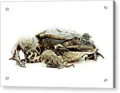 Green Frog On Piece Of Whiteboard Acrylic Print by Marcel ter Bekke
