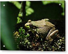 Green Frog Rana Clamitans Acrylic Print