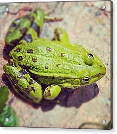 Green Frog Sitting On Stone Acrylic Print by Matthias Hauser