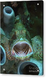 Green Grouper With Open Mouth, North Acrylic Print by Mathieu Meur