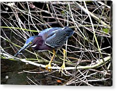 Acrylic Print featuring the photograph Green Heron by Pravine Chester