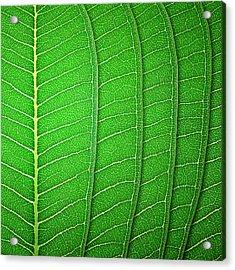 Green Leaf Texture Acrylic Print by Natthawut Punyosaeng