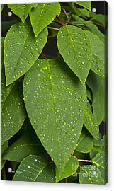 Green Leaves And Water Drops 2 Acrylic Print by James BO  Insogna