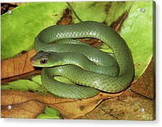 Green Racer Drymobius Melanotropis Amid Acrylic Print by Michael & Patricia Fogden