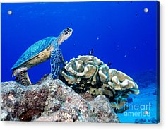 Green Sea Turtle Acrylic Print by Andrew G Wood and Photo Researchers