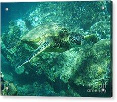 Green Sea Turtle Hawaii Acrylic Print by Bob Christopher
