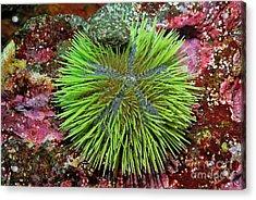 Green Sea Urchin On Rock Acrylic Print by Sami Sarkis