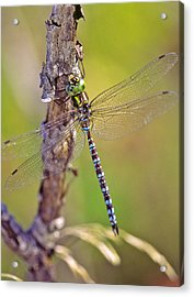 Green-striped Darner Dragonfly Acrylic Print