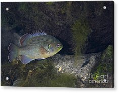 Green Sunfish Swimming Along The Rocky Acrylic Print by Michael Wood